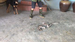 The Cobra in the Kitchen killed the Poor Cat  Wild Cobra