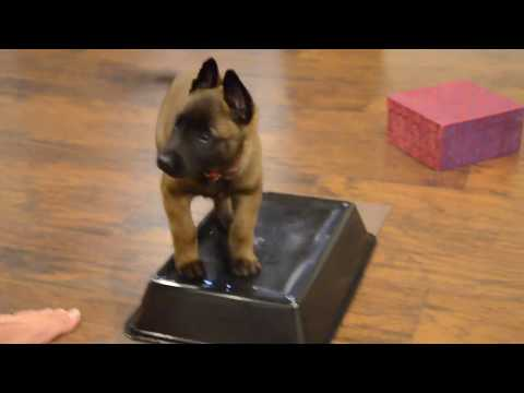 Belgian Malinois—Mishka—7 weeks old learning 'More Place!'