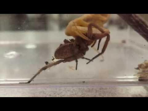 Praying Mantis Eating a Wolf Spider