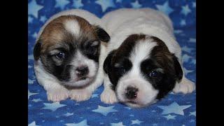 Coton de Tulear Puppies For Sale - Kiwi 1/18/21