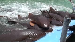 Nurse shark out of water feeding frenzy