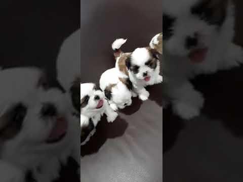 #shihtzu Adorable Quality Shihtzu Puppies For Sale In Bangalore