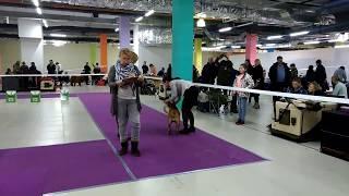 """Выставка собак МКОО """"Орфей"""" порода кадебо 28.10.17"""