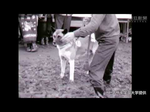 Historic 8-mm film reels show Akita Inu dogs in all past glory