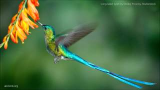 Long-tailed Sylph Calls