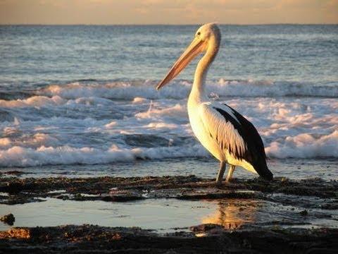 Le Pelican By Robert Desnos
