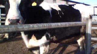 愛知牧場の乳牛の顔アップです。 1月9日に撮影しました。 ipod nano5Gで...