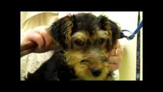 Hundepflege/Grooming - Hundesalon Welsh-Terrier, Max der Welpe