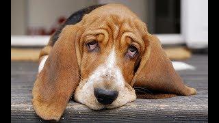 Бассет-хаунд самая добрая собака в мире