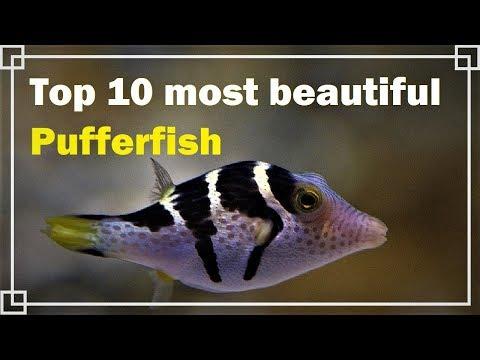 Top 10 Most Beautiful Pufferfish