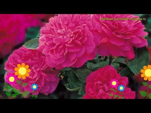 Роза английская кустовая Софи роуз. Краткий обзор, описание характеристик Sophy's Rose