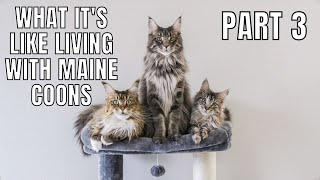 What It's Like Living with Maine Coons (Part 3)