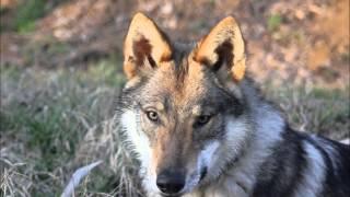 scar un anno insieme clc cane lupo cecoslovacco cwd czechoslovakian wolf dog