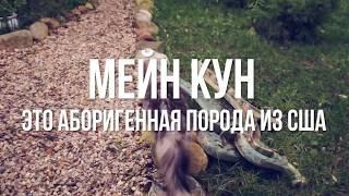 КОТ МЕЙН КУН | ПОРОДЫ КОШЕК