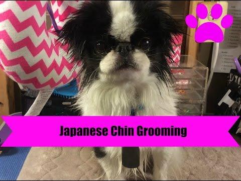 Japanese Chin Grooming
