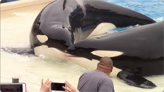 Killer Whales: Up Close (Full Show) at SeaWorld San Diego - 6/16/15