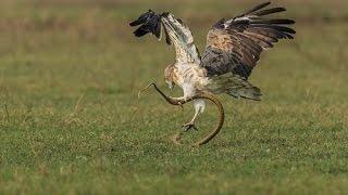 Thật kinh hoàng ! Rắn độc tấn công chim đại bàng non , cái kết rất đáng cho vua bầu trời