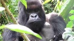 Mountain Gorilla Trekking Volcanoes National Park, Rwanda.