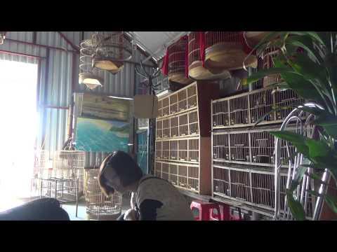 Nuôi chim vui cửa vui nhà mua chim Khướu hót  - Web banchim.vn - Chuyên mua bán chim cảnh