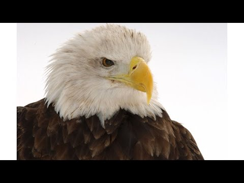 Spotted! Resurgence Of Bald Eagle Nests In Central Ohio
