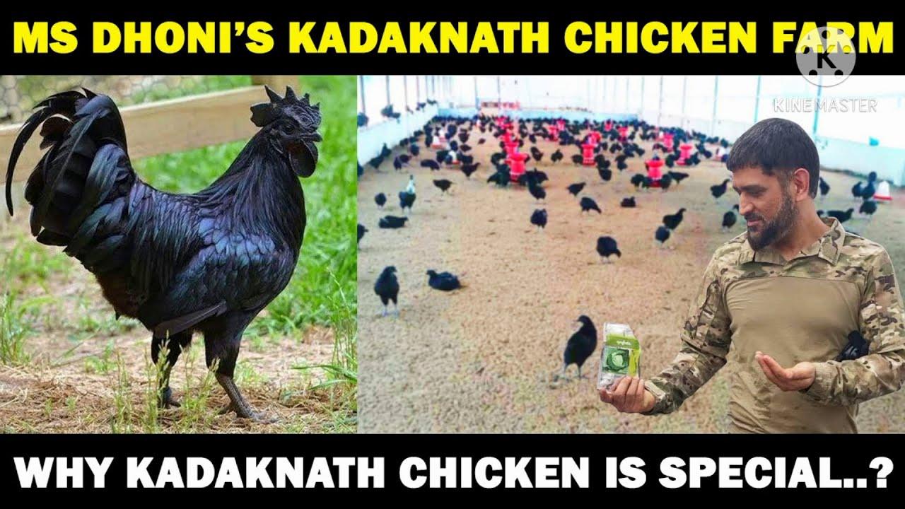 Dhoni Begins KadakNath Chicken Business