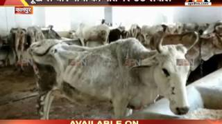 Cows not getting fodder in Kanpur gaushala