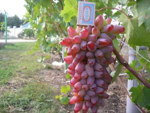 Сорт винограда Оригинал#описание - особенности выращивания