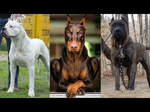 5 Gefährliche Hunde, Deren Einfuhr Nach Deutschland Verboten Ist!