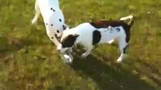 Staffy Vs. Dalmatian