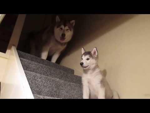 Stubborn Alaskan Malamute Puppy