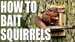 How to bait squirrels
