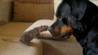 Крыса ест собаку