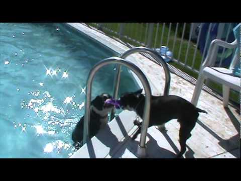 boston terrier will not stop jumping in pool