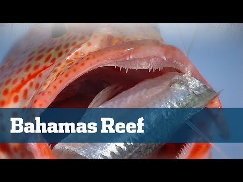 Blasting Bahamas Bottom Fish On The Reef And Deep Dropping - Florida Sport Fishing TV
