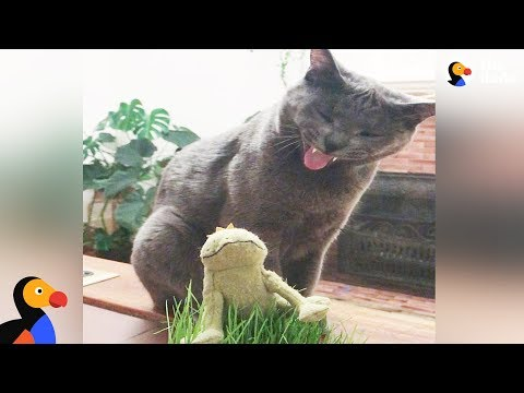 Cat's Mortal Enemy is His Frog Toy | The Dodo