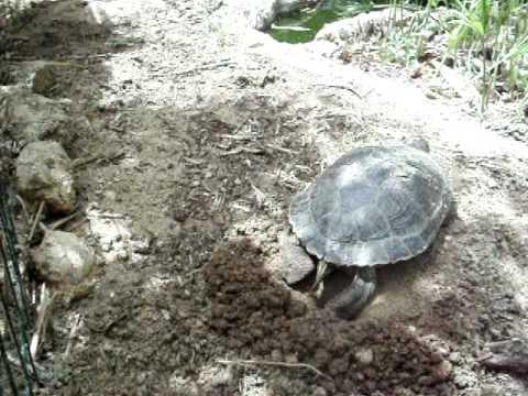 Deposizione uova tartaruga d 39 acqua parte 3 youtube for Deposizione uova tartarughe terrestri