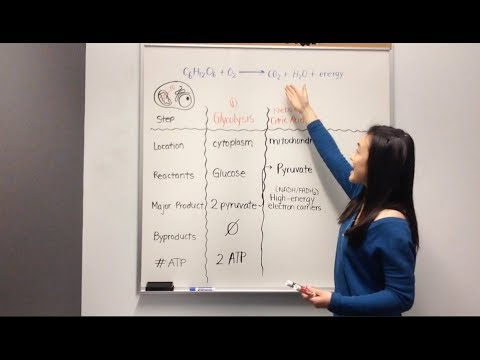 Cellular Respiration: Glycolysis, Krebs Cycle, Electron Transport Chain