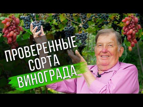 Обзор проверенных сортов винограда. Отзыв виноградаря
