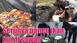 Proses Panen Koi Di Budidaya Ikan Koi Nglegok Blitar,kawasan Minapolitan Ikan Hi