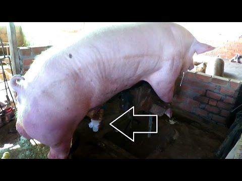 Mode Of Synthetic Artificial Breeding Pigs ( Joke KH Post )