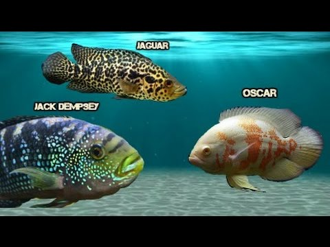 Oscar Cichlid   Jaguar Cichlid Jack Dempsey And Oscar Youtube