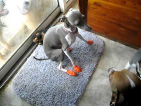 Italian Greyhound New Shoes