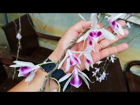 Bán 5 cặp Phi Điệp - Dã Hạc Kon Tum tỏa hương thơm ngát | Orchid | Đã Bán Hết videó letöltés