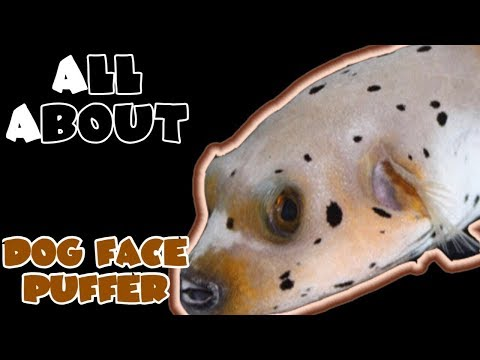 All About The Arothron Dog Face Puffer