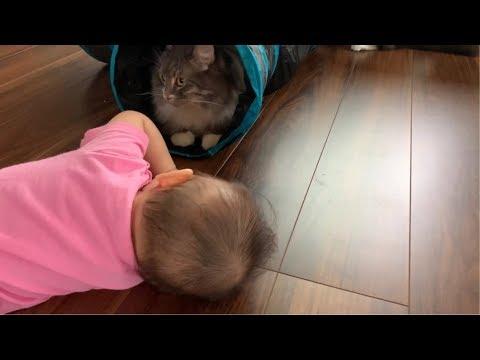 赤ちゃんと一緒に猫用トンネルで遊ぶ猫 ノルウェージャンフォレストキャット  Cat playing in the cat tunnel with the baby