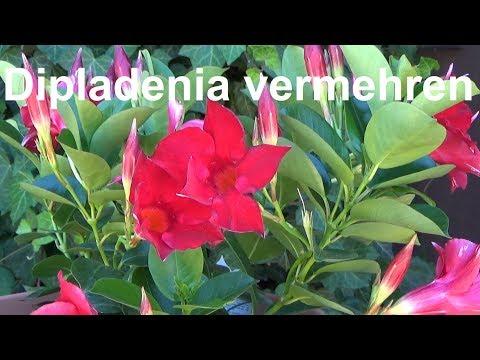 Dipladenia Vermehren Ableger Steckling Absenker Samen Dipladenia Madevilla
