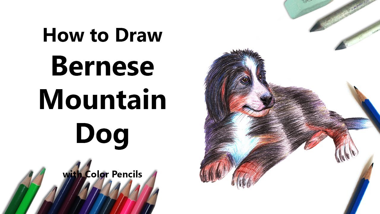How To Draw A Bernese Mountain Dog With Color Pencils Time Lapse