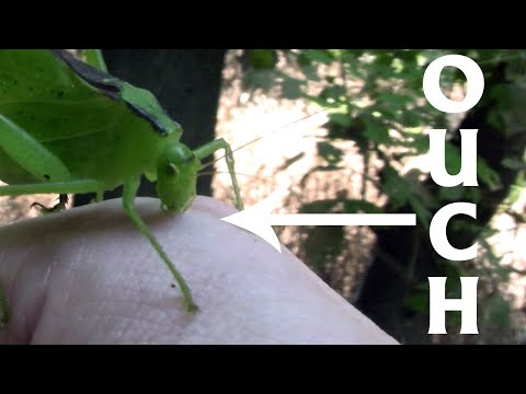 Katydids are Carnivores!  (Trinity Forest #1)