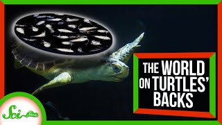 Sea Turtles Really DO Carry a (Microscopic) World on Their Backs