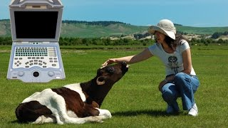 Pregnancy In Dairy Cow Of 81 Days Diagnosed Using KX5000V, See How Veterinarian Performs It
